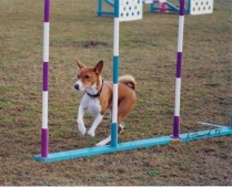 Trudy -- Alanna Lowry -- First MX, AD, and AAD Basenji -- First to go to a national. 2/6/91- 2/3/01, Alabiss Too Good To Be True CD, MX, AXJ, AAD, CGC, TT, therapy dog